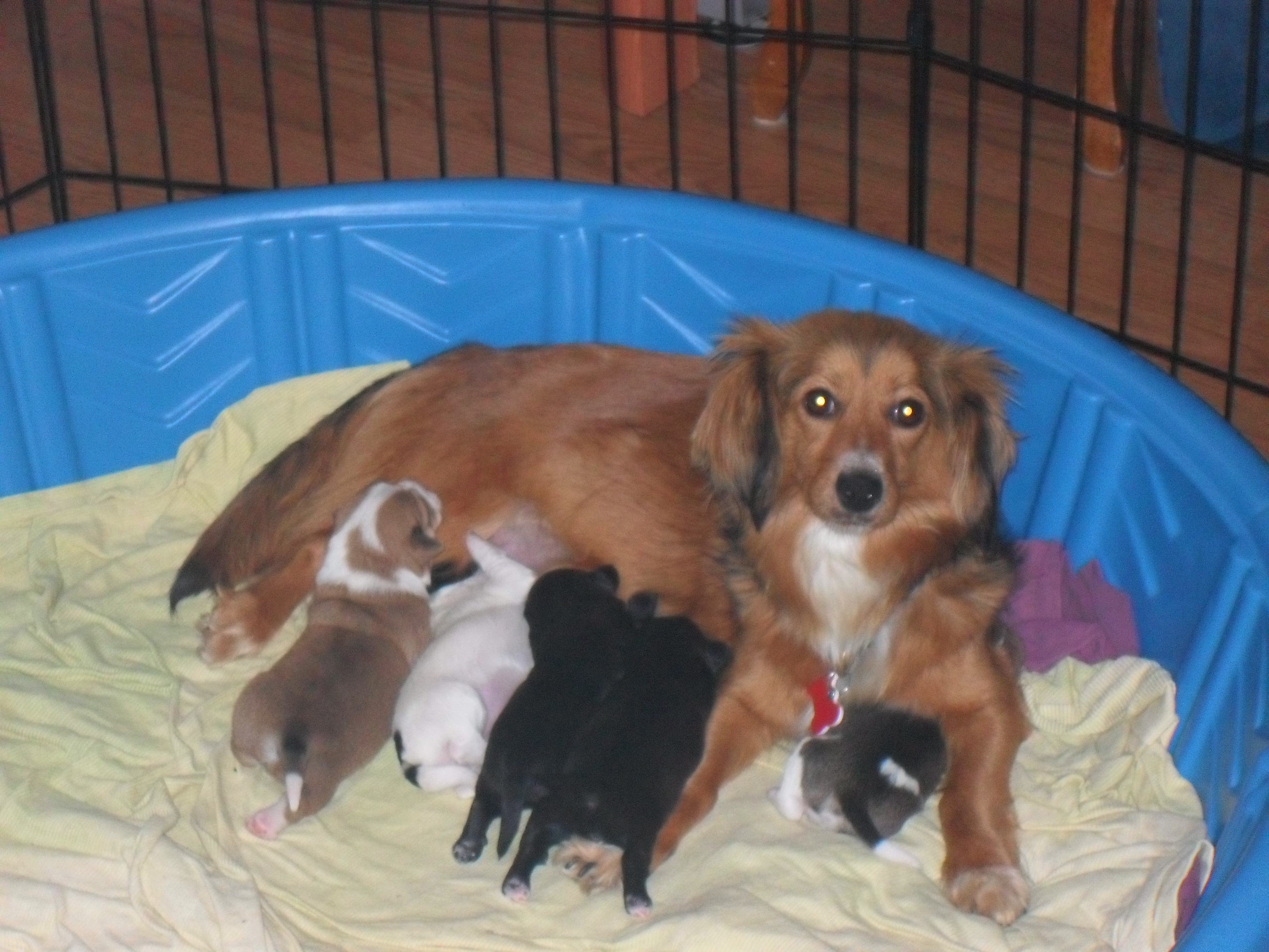 Long Haired Dachshund Mix Puppies The